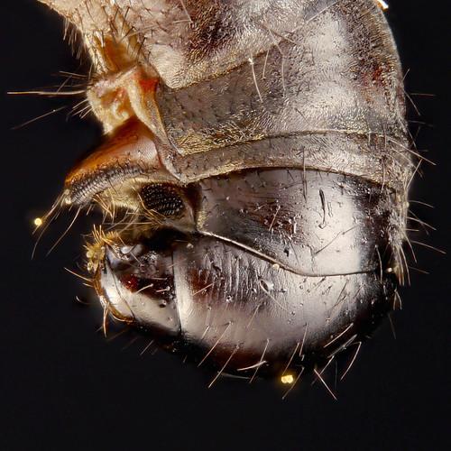 Conopid fly female abdomen