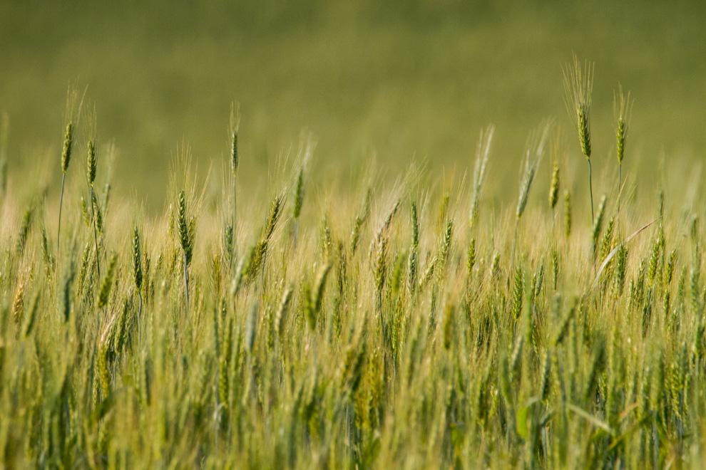Campos de trigo son la constante en los caminos de tierra que llevan al Parque Nacional Caazapá. (Tetsu Espósito)