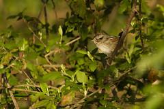 Swamp Sparrow - swsp