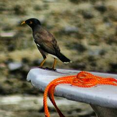 A crow. غراب