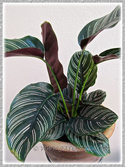 Calathea ornata 'Sanderiana' (Calathea Broad Leaf, Striped Calathea, Pin-stripe Plant), 18 Oct 2013