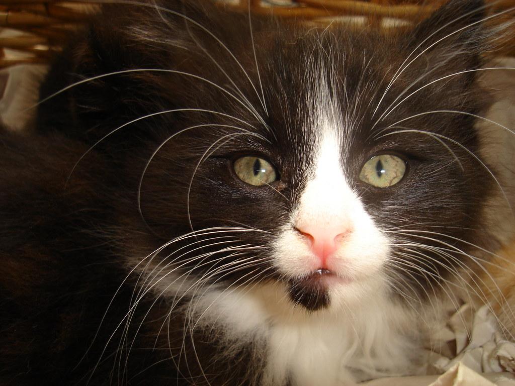 foster kitten Polly