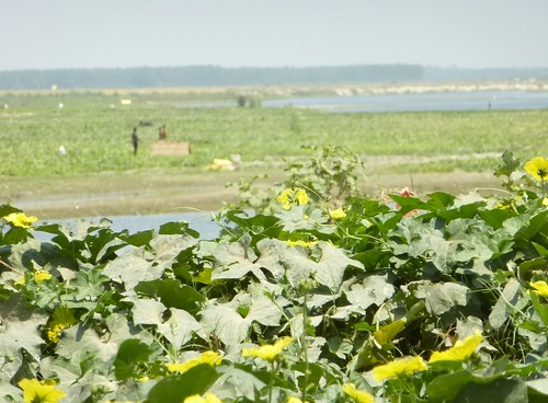cucumber fields in the foreground, with people working in the background.