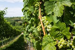 Riesling Vineyard