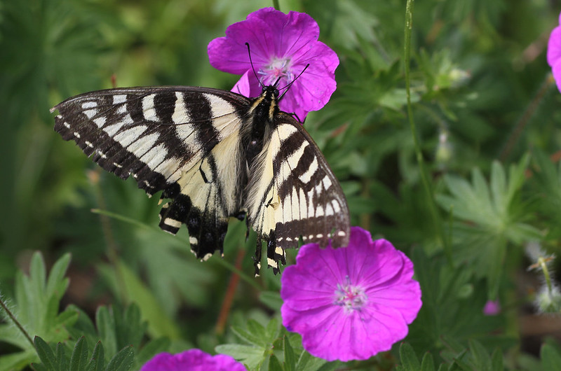 tiger swallowtail butterfly2