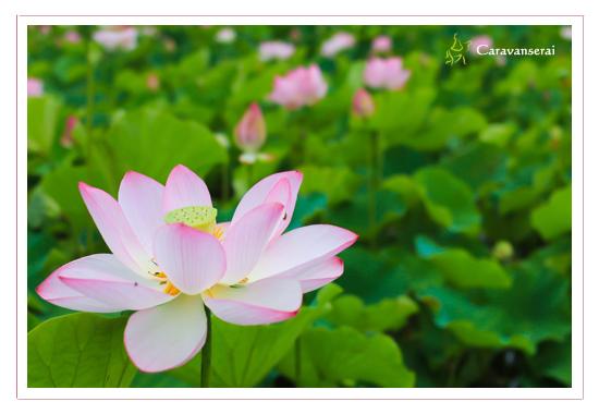 蓮の花 写真 愛知県長久手市 ござらっせ近く 写真