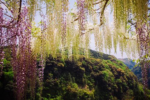 flowers japan spring kagoshima 鹿児島県 日本 花 wisteria kyushu 九州 春 fujivelvia kirishima 藤 makizono kagoshimaprefecture 牧園 vscofilm wakikoen