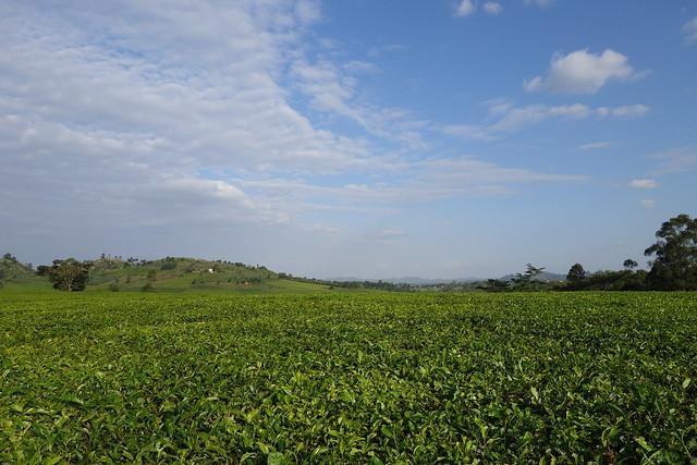 140623 Tea Fields (11)