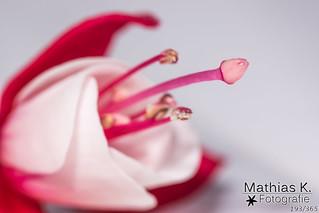 Blüte | Projekt 365 | Tag 193