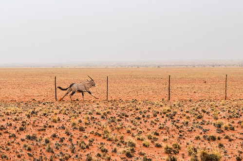 Gemsbok race against the fence