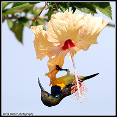 Olive-backed Sunbird (Cinnyris jugularis aurora)