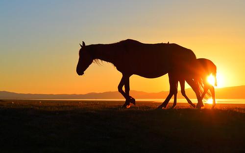 horses horse nature animals silhouette wildlife silkroad centralasia kyrgyzstan songkol kirgisistan