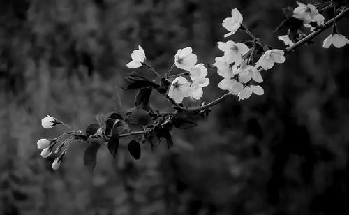 Blossom (Toronto, Canada. Gustavo Thomas © 2014)
