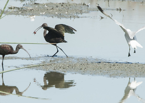 White-faced Ibis w crayfish and gull