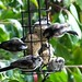 Long-tailed Tits by davidcawthraw