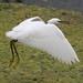 C37E5216 Little Egret in flight by tobyjug5