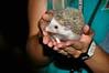 African Dwarf Hedgehog