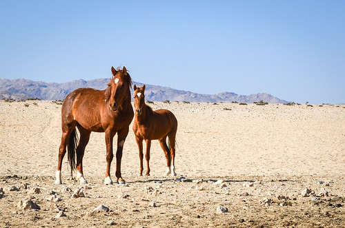 Chevaux sauvages generet, Namibie