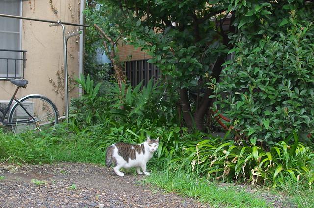 東京路地裏散歩 根津のネコ 2014年8月14日