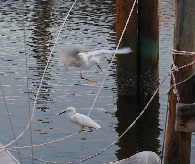egret antics
