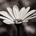 Cape daisy 004