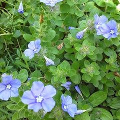 These lovelies are also in the morning glory family. These are in a wide pot!