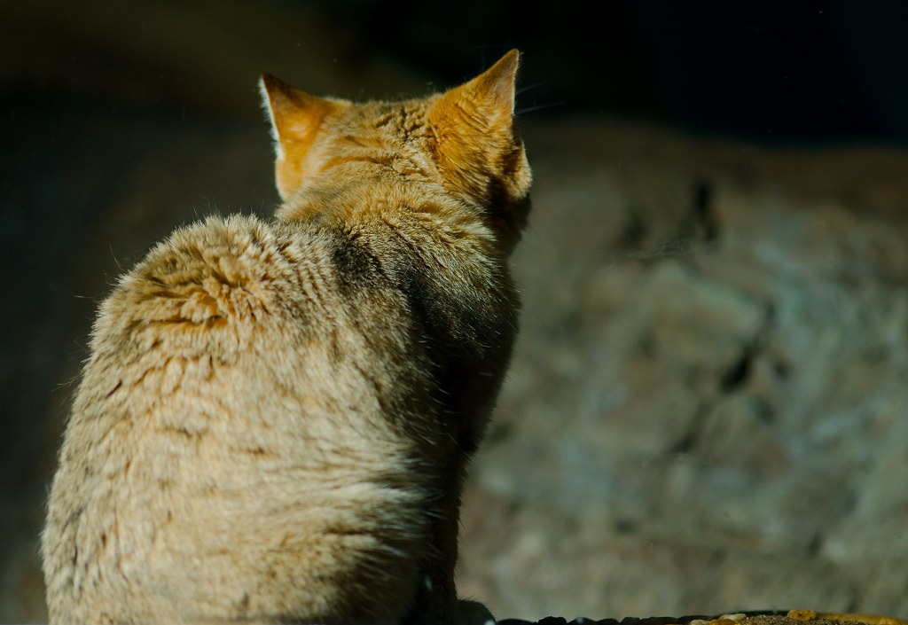 Sand Cat (Felis margarita)_5