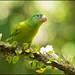 Orange-chinned Parakeet (Brotogeris jugularis) perched on a branch by Chris Jimenez Nature Photo