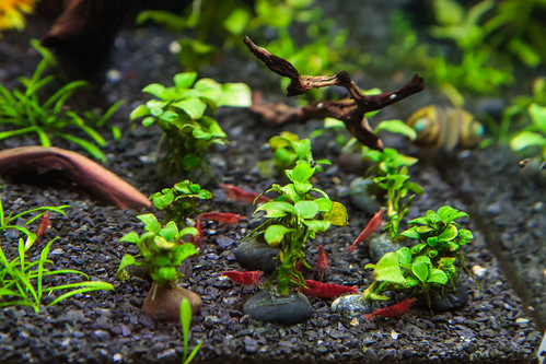 Red Cherry Shrimp in a Planted Aquarium with Flourite Substrate