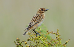 DSC_8160 Whinchat.