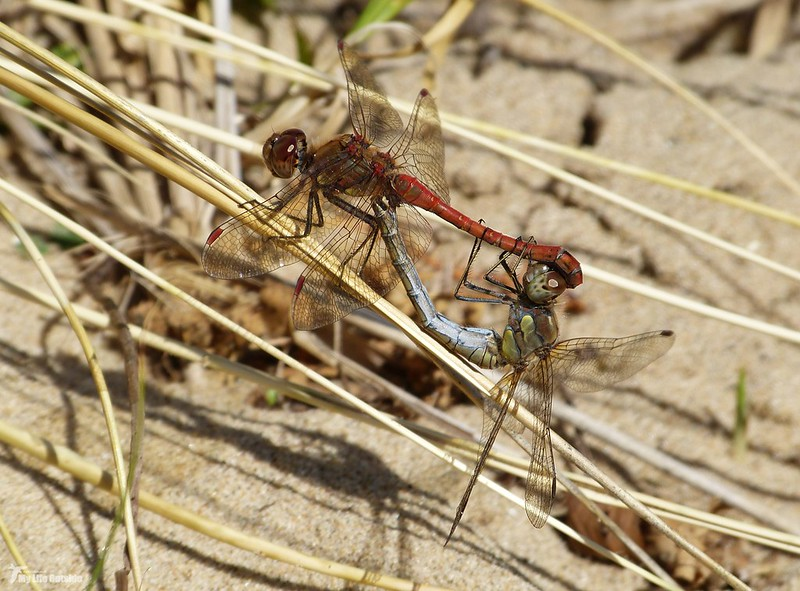 P1080679 - Common Darters, Whiteford
