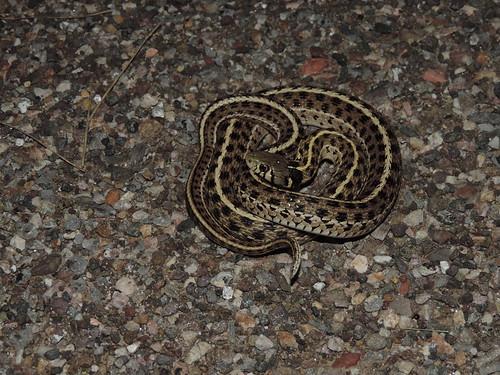 Checkered Garter Snake (Thamnophis m. marcianus)