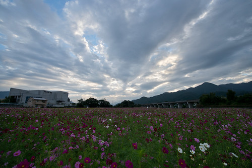 pink flowers autumn light sky flower color green nature beautiful japan landscape photography nikon scenery pastel 日本 花 cosmos d800 1424 nikoor 1424mm