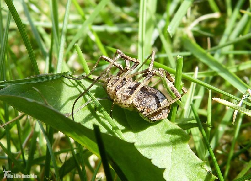 P1080939 - Harvestman Spider