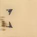 Golondrina comun / Barn Swallow / Hirundo rustica