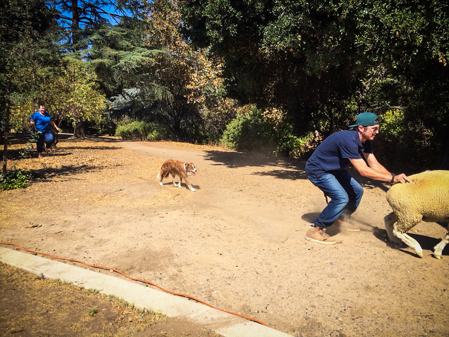 Sheep at Bark in the Park San Jose 2014