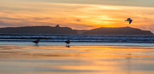 ocean sunset bird beach animal landscape photography seagull places equipment morocco marocco essaouira canoneos6d canonef70200mmf28lisiiusm marrakeshtensiftelhaouz