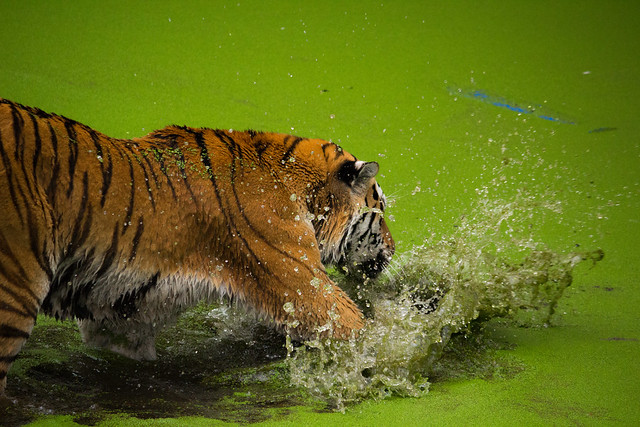 A Tiger At Play