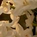 narcissus papyraceus 8w-w, narcissus w-w, oneplant, trumpetwhite - daffodil parts, jdy329 XX201111254692.jpg