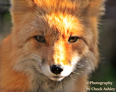 Red Fox Close Up W_6997