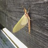 Fascinated by the mouthless head of this large Hexagenia mayfly imago