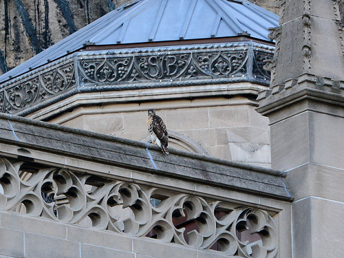 Cathedral Hawk Fledgling (2090)