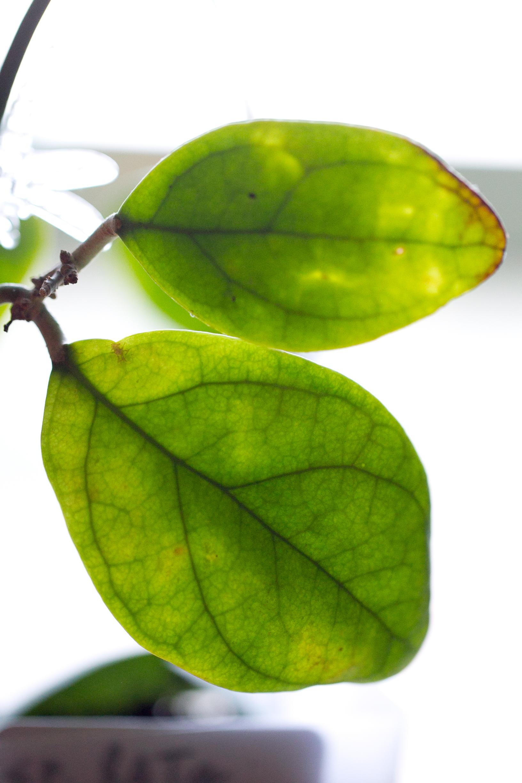Hoya sp. Lata Iskandar (Aleya)