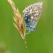 Common Blue (polyommatus icarus) by celerycelery