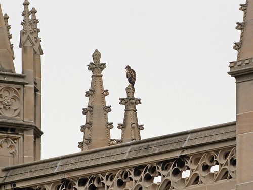 Cathedral Hawk Fledgling #3 (2338)