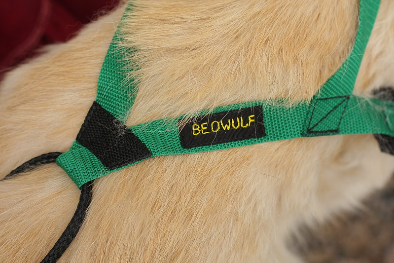 Beowulf trying on his new bikejoring sled dog harness [pics by my 8-yr old daughter] 14490162181_eb47019f3d_c