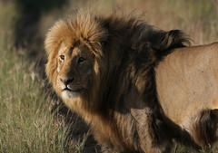 adventure(0.0), animal(1.0), mane(1.0), big cats(1.0), masai lion(1.0), lion(1.0), mammal(1.0), fauna(1.0), close-up(1.0), whiskers(1.0), savanna(1.0), grassland(1.0), safari(1.0), wildlife(1.0),