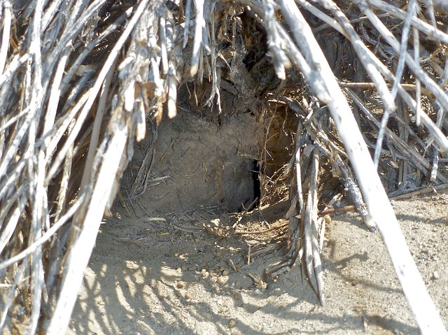 pygmy rabbit burrow