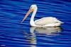 C57A6434 - Pelecanus erythrorhynchos – Pelícano Blanco - American White Pelican - Pélican d'Amérique by Carlos A. Objio Sarraff