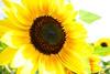 Sommer, Sonne, Sonnenblumen by N Skadi